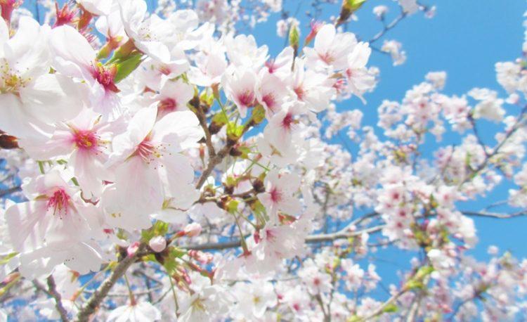 大阪、豊中の桜も見ごろです